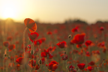 Poppies at Sunset 7