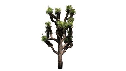 Joshua Palm tree - isolated on white background