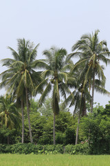 Coconut palms on the rice fields.
