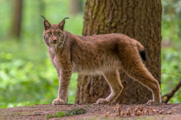 Looking Eurasian Lynx