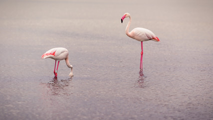 Flamingos searching for food