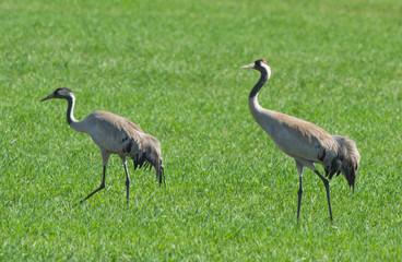 Common cranes in the field