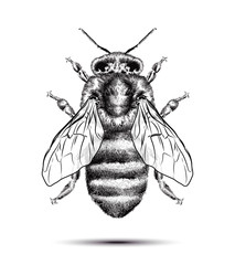Realistic honey bee isolated on a white background