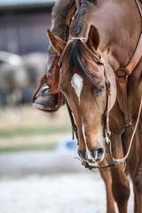 Gerittenes Quarter Horse, Nahaufnahme