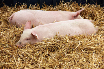 Piglets lying in the hay