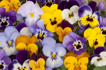 Foto op Aluminium Pansies mixed colors of pansies in garden