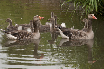 goose family in water The Netherlands
