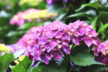 Hydrangea,beautiful blooming purple flowers