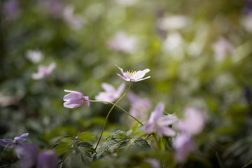 wild anemones in a forest