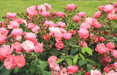 Flower beds of pink roses
