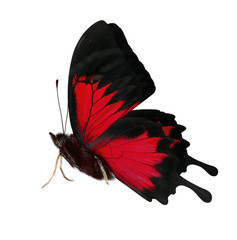 side view of bright red butterfly