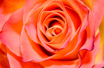 Orange rose flower, close up, texture