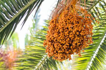 Orange ripe palm dates
