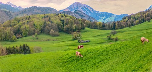 Green swiss pastures  in valley and some cows which graze