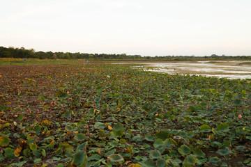 Blooming lotus fields