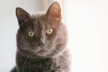 grey cat looking directly to the camera