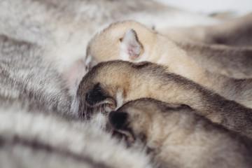 Newborn puppies Siberian Husky. Meals mother's milk.