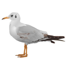 Seagull stands isolated on white background