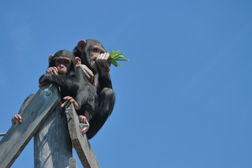 Chimpanzees Eating Green Leaves