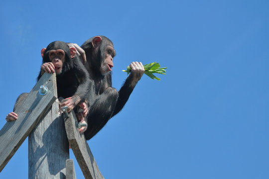 Two Chimps High Up Against Blue Sky