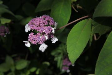 Samthortensie Blütenstand im Sonnenlicht
