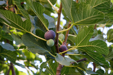 Ripening on the branch fruit of figs