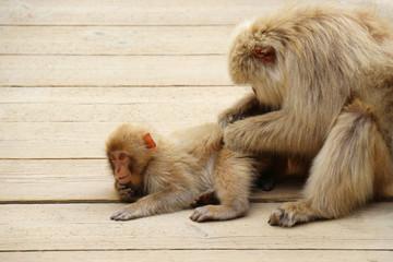 毛づくろいをする親子のニホンザル - Wild Japanese macaque