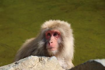 温泉から顔を出すニホンザル - Wild Japanese macaque