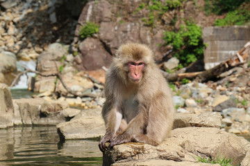 ニホンザル - Wild Japanese macaque