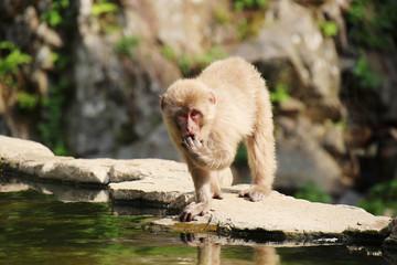 ニホンザルの子供 - Wild Japanese macaque