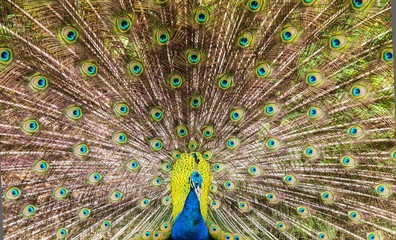 Spreaded tail of a peacock