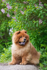 chow chow breed dog outdoors