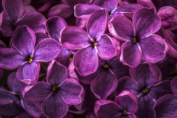 Foto auf Acrylglas Flieder Macro image of spring lilac violet flowers, abstract soft floral