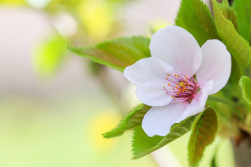 sakura, the famouse flower of Japan