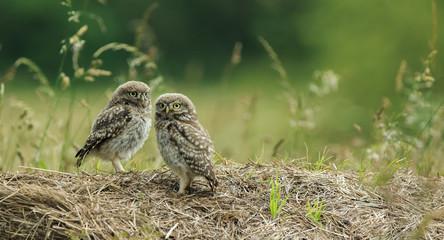 Little Owl (Athene noctua) North Yorkshire, England.