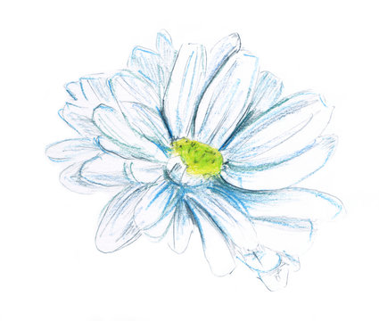 A watercolor drawing of a daisy