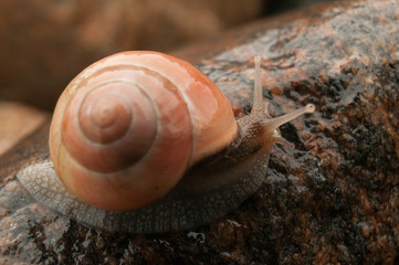 Snail with orange shell on a stone