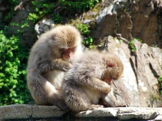 毛づくろいする猿 (ニホンザル)