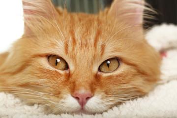 Red cat resting indoors