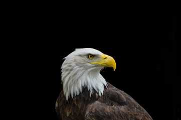 Bald eagle in profiel geïsoleerd op zwarte background