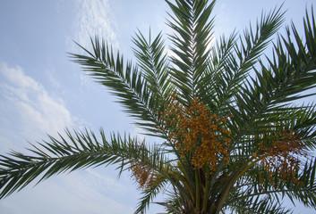 palm tree and ripe nut fruits