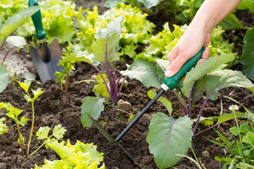 Woman taking care of her small field of organic vegetables