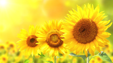 Fototapete - Three bright yellow sunflowers