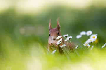 Eichhörnchen auf einer Gänseblümchenwiese