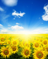 Wall Mural -  sunflowers and sun