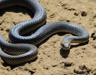 Snake (Dolichophis caspius).