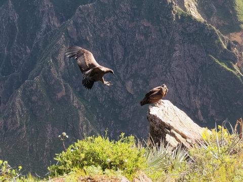 Cruz del Condor andean condors