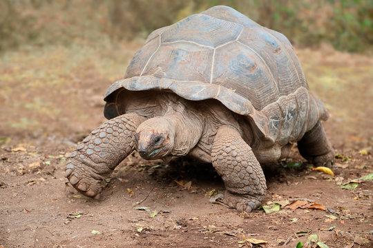 Aldabra giant tortoise on prison island, Zanzibar