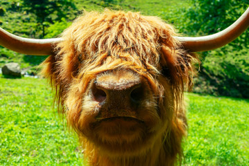 Angry funny exotic cow looking into camera. Closeup portrait