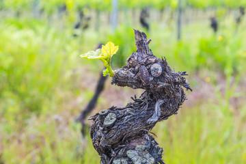 Old vine tree stem